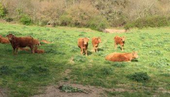 allevamento-bovini